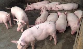 Giá heo (lợn) hơi hôm nay 5/7: Miền Bắc phục hồi, miền Nam thấp nhất cả nước