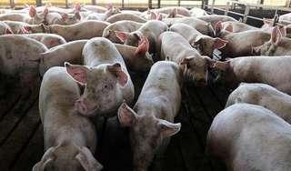 Giá heo hơi hôm nay 8/7: Miền Bắc khởi sắc, nhiều nơi không còn lợn để bán