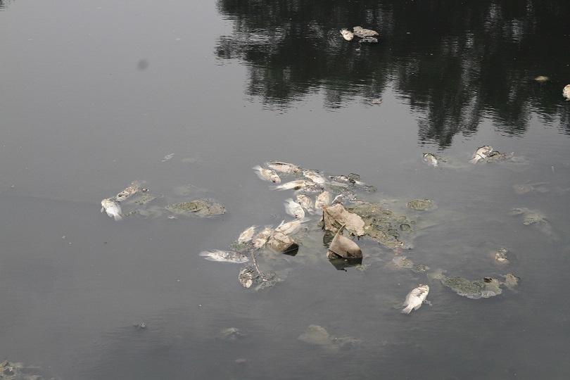 Dừng nhận nước Hồ Tây, sông Tô Lịch lại đen kịt, cá chết khắp mặt sông10