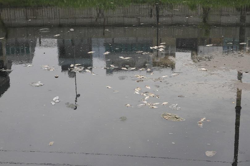 Dừng nhận nước Hồ Tây, sông Tô Lịch lại đen kịt, cá chết khắp mặt sông9
