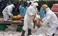 Nam Định chi gần 150 tỷ đồng hỗ trợ các hộ dân bị dịch tả lợn châu Phi