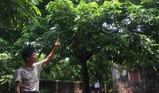 Nhãn Hưng Yên mất mùa, loại quả siêu ngọt lên tới hơn 100.000 đồng/kg