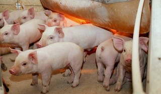 Giá heo (lợn) hơi hôm nay 8/8: Khởi sắc trên cả nước, có nơi tăng tới 5 giá