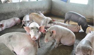 Giá heo (lợn) hơi hôm nay 9/8: Miền Bắc tăng tới 49.000 đồng/kg