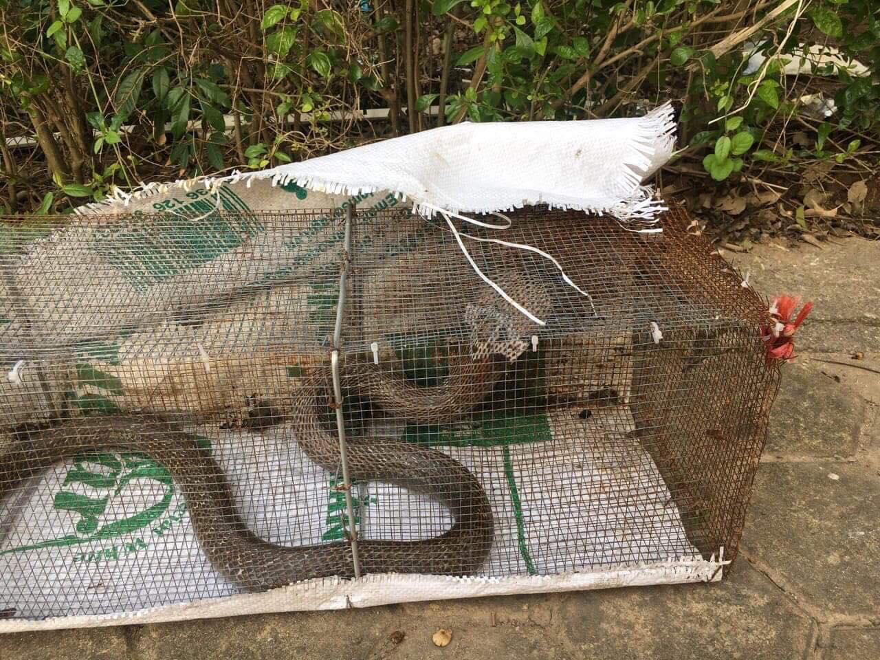 Rùng mình bắt được hàng loạt con rắn độc ở khu chung cư Hà Nội