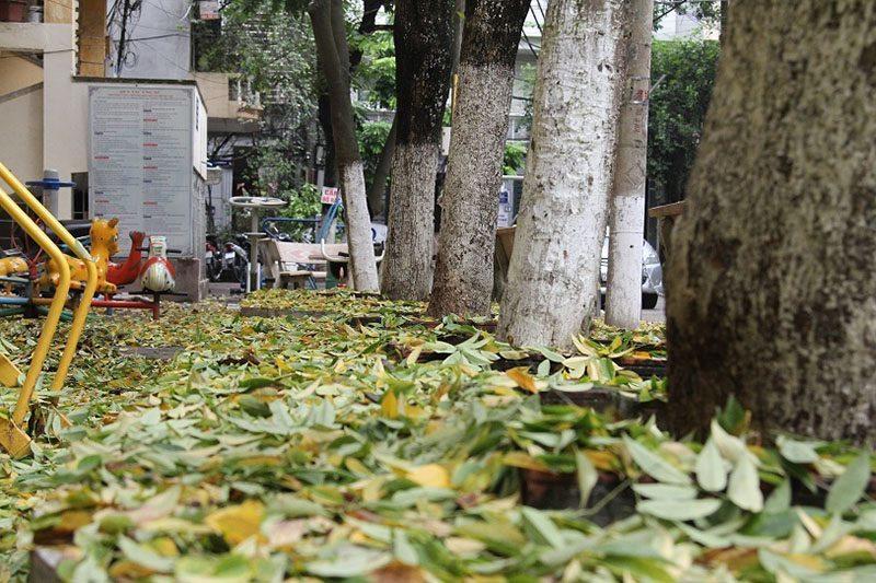 Hàng cây sưa rụng lá bất thường nghi bị kẻ xấu đầu độc6