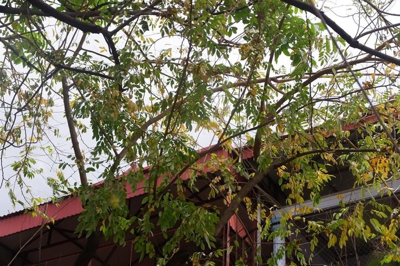 Hàng cây sưa rụng lá bất thường nghi bị kẻ xấu đầu độc2