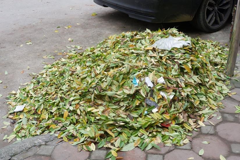 Hàng cây sưa rụng lá bất thường nghi bị kẻ xấu đầu độc8