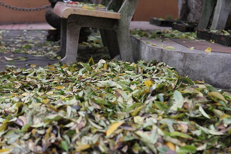 Hàng cây sưa rụng lá bất thường nghi bị kẻ xấu đầu độc3