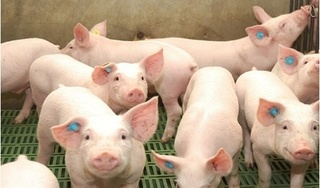 Giá heo (lợn) hơi hôm nay 27/8: Miền Bắc vẫn giữ mức cao nhất