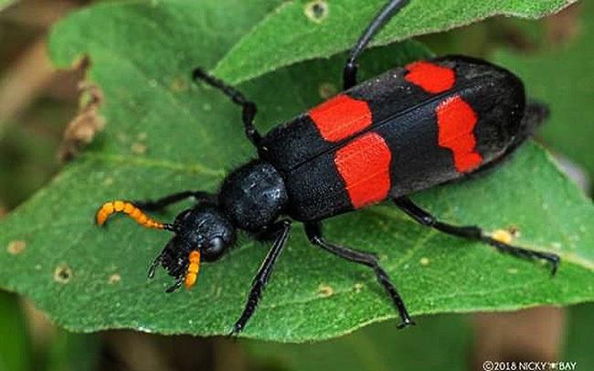 Chuyên gia BV Bạch Mai cảnh báo nguy cơ ngộ độc từ bọ cánh cứng