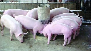 Giá heo (lợn) hơi hôm nay 4/9: Miền Bắc tái lập kỷ lục