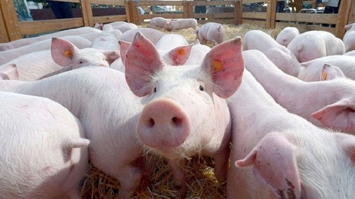 Giá heo (lợn) hơi hôm nay 6/9: Giá mới sắp được xác lập