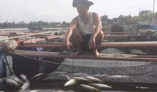 Sau mưa lũ, cá lồng bè của người dân Hà Tĩnh chết hàng loạt