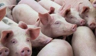 Giá heo (lợn) hơi hôm nay 14/9: Miền Trung, miền Nam cách biệt khá xa