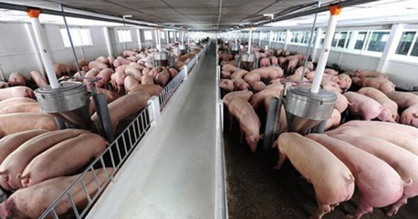 Giá heo (lợn) hơi hôm nay 17/9: Miền Bắc chuyển biến tích cực