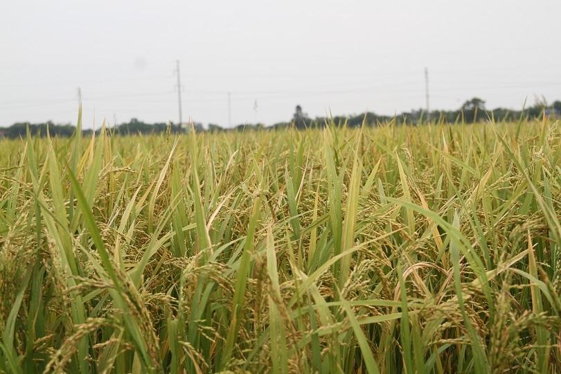 Hà Nam: Người dân kêu trời vì nhiều diện tích lúa lép hạt, năng xuất thấp