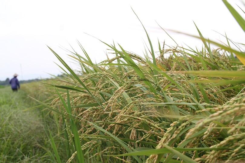 Hà Nam: Người dân kêu trời vì nhiều diện tích lúa lép hạt, năng xuất thấp10