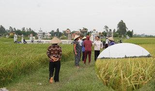Hà Nam: Dân kêu trời vì mất mùa, nghi mua phải giống lúa rởm