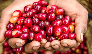 Giá cà phê hôm nay 29/11: Quay đầu giảm 100 đồng/kg