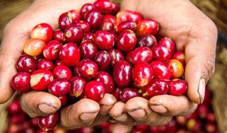 Giá cà phê hôm nay 4/12: Duy trì tiếp đà tăng