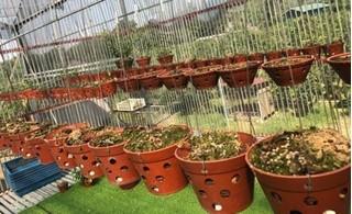 Vườn lan tiền tỷ bị trộm đột nhập từ mái nhà lấy đi trong tích tắc, chủ vườn điêu đứng