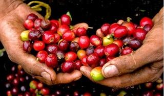 Giá cà phê hôm nay 2/11: Cao nhất ở mức 33.000 đồng/kg