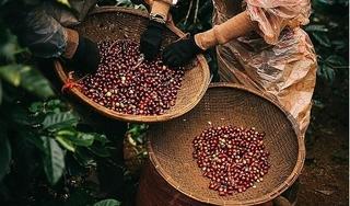 Giá cà phê hôm nay 25/11: Cao nhất ở mức 33.600 đồng/kg