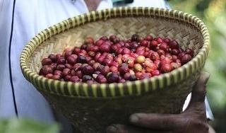 Giá cà phê hôm nay 6/12: Tăng trở lại 700 đồng/kg sau phiên giảm mạnh