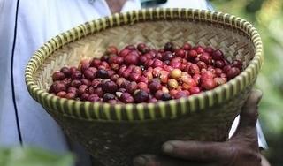 Giá cà phê hôm nay 4/11: Dự báo tiếp tục sẽ tăng