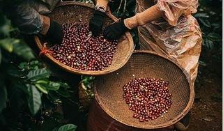 Giá cà phê hôm nay 5/12: Giảm mạnh tới 900 đồng/kg