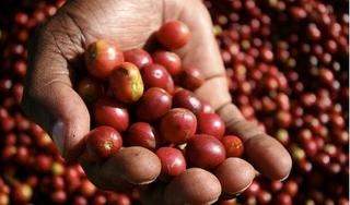 Giá cà phê hôm nay 7/12: Tiếp tục theo đà tăng 400 đồng/kg