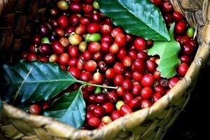 Giá cà phê hôm nay 18/11: Thị trường trầm lắng phiên đầu tuần