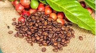 Giá cà phê hôm nay 22/11: Tiếp tục tăng theo đà thêm 300 đồng/kg