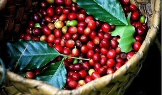Giá cà phê hôm nay 24/11: Chốt tuần ở mức 33.000-33.600 đồng/kg