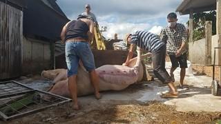 Bắt chủ tịch xã khai khống số lượng lợn chết trục lợi trăm triệu