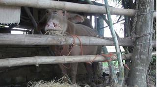 Đàn trâu 'điên' húc 15 người ở Thanh Hoá bị thương