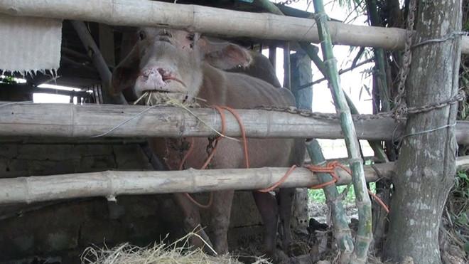 Đàn trâu 'điên' húc 15 người bị thương ở Thanh Hoá