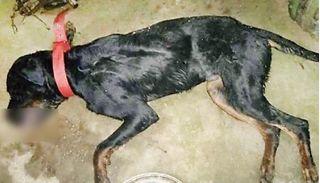 Chú chó xả thân giết chết hổ mang chúa bảo vệ chủ và kết cục đau lòng