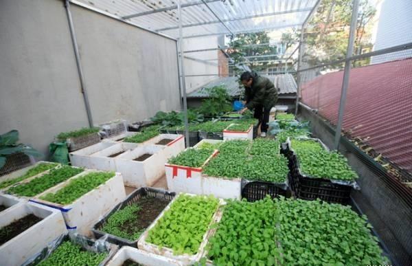 Trồng rau xanh trong môi trường ô nhiễm không khí có an toàn?