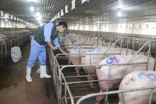 Lợn vẫn ùn ùn vượt biên sang Trung Quốc