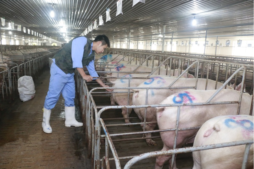 Lợn vẫn ùn ùn vượt biên sang Trung Quốc2