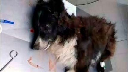 Chú chó trung thành đỡ đạn hộ chủ trong vụ cướp