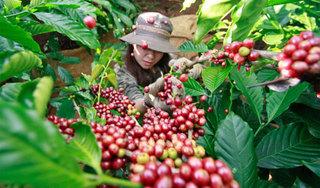 Giá cà phê hôm nay 18/12: Tiếp tục tăng thêm 500 đồng/kg