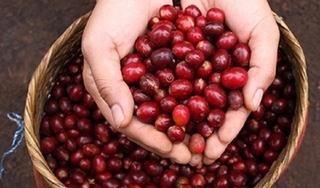 Giá cà phê hôm nay 15/12: Dao động trong khoảng 32.500-32.900 đồng/kg