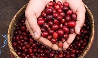 Giá cà phê hôm nay 4/1: Tiếp tục giảm theo đà thêm 200 đồng/kg