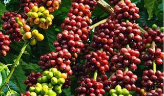Giá cà phê hôm nay 6/1: Dao động quanh mức 32.000 đồng/kg