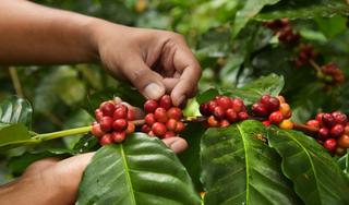 Giá cà phê hôm nay 1/1/2020: Giảm nhẹ ngày đầu năm mới