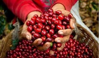 Giá cà phê hôm nay 22/12: Giữ nguyên mức tăng của ngày hôm qua