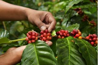 Giá cà phê hôm nay 9/1/2021: Tiếp tục giảm trong phiên cuối tuần